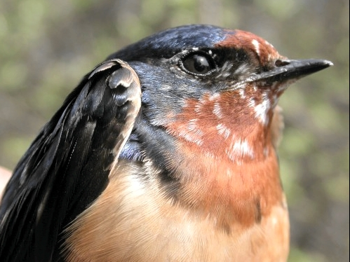 Barn Swallow, a new addition this week to our all-time list of species banded at MBO.  (Photo by Marcel Gahbauer)-
