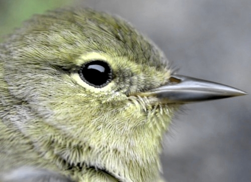 This second-year female Orange-crowned Warbler had only a couple of slightly orange-tipped feathers in her crown.  Until Sunday, this species had never been banded at MBO in spring.  (Photo by Marcel Gahbauer)-