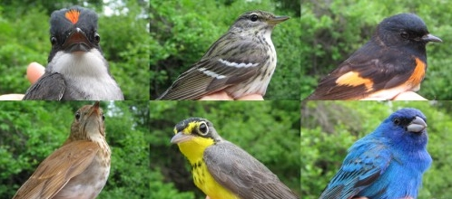 A sampling of some of our newly-banded species for this week (mounted in no particular order - we claim no favorites!  Actually, there were the photos that I had on hand...): Eastern Kingbird, Blackpoll Warbler, American Redstart, Veery, Canada Warbler,  and Indigo Bunting.   (Photos by Marie-Anne Hudson)-