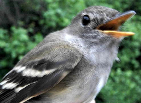 A highlight for this week was our fourth foreign recapture: a Traill's Flycatcher that was banded June 5, 2003 in Michigan landed in our nets early Saturday morning.  The gray sky only allowed a rather marginal photo to be taken of our special visitor.   (Photo by Marie-Anne Hudson)