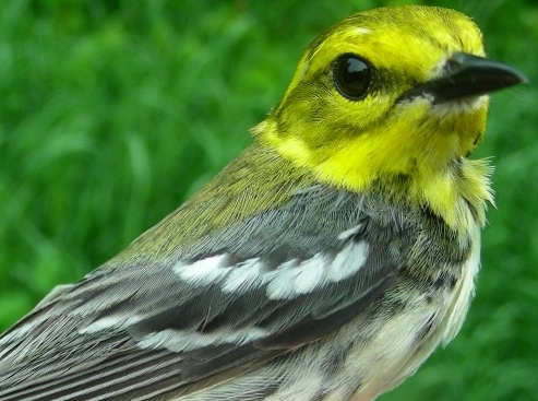 Apparently you get what you ask for at MBO!  This after-second year female Black-throated Green Warbler appeared in our nets on our final day of banding – two days after we stated in the weekly report that we had yet to band this species!  See below for another species that was first banded on our last day.  (Photo by Marie-Anne Hudson)-