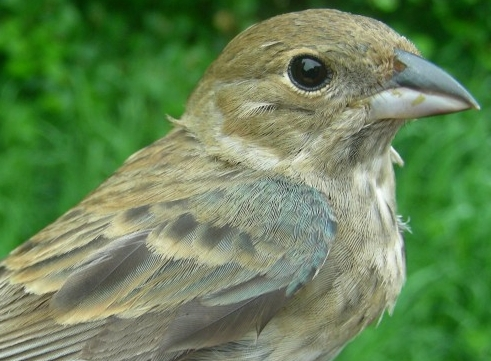 This after-second-year female Indigo Bunting also became the first of her species to be banded this spring.  It's no surprise that these late-comers were older females, as many passerines exhibit differential migration: young males head north earlier than the older males, which are followed by the young females, and the older females are the last to arrive.  This is mostly due to the fact that the young males must seek out the best territories before the older males arrive if they hope to breed.  Conversely, the older females can take their time, so to speak, allowing the males to duke it out before the females make the long trek northward. (Photo by Marie-Anne Hudson)
