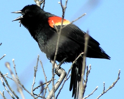 Though this vocal male didn't perch in the greatest position for band-spotting, one male Red-winged Blackbird has been spotted sporting a band.  It's only a matter of time before we get one in the nets!  (Photo by Marie-Anne Hudson)-