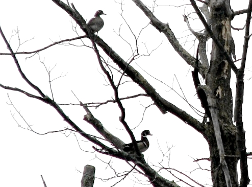 A sight to wake up for – early Saturday morning a pair of Wood Ducks were living up to their names a they perched in a large tree overlooking Stoneycroft Pond. We hope that one of the 2 or 3 pairs sighted almost daily might make use of one of the 4 nest boxes on site. (Photo by Barbara Frei)-