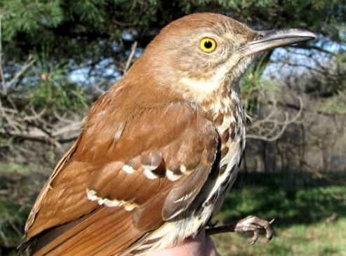 There is just nothing like a mimic's song first thing in the morning. We were very happy to see this Brown Thrasher – a species facing population declines – and he/she seemed happy to see us for he/she kept reappearing in our nets!!  (Photo by Barbara Frei)-