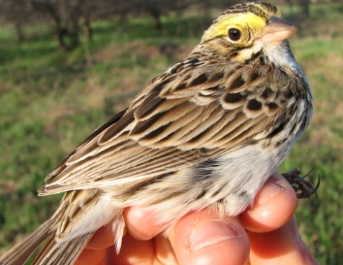 The delicate coloration of the Savannah Sparrow is well suited for this grassland species, whose soft and musical trill can be heard along the field edge every morning this spring at MBO. Perhaps this enchanting sparrow can make some birders rethink the impression that all sparrows can be lumped together as 'little-brown-jobs'.  (Photo by Barbara Frei)
