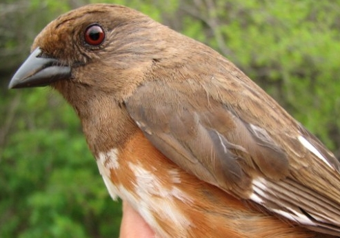 This second-year female Eastern Towhee, banded on Friday, was the first one ever seen at MBO, making it the 185th species on our checklist, and the fifth addition since the beginning of the 2007 spring season - we encourage all our dedicated observers to be on the lookout for #186 ... whatever it may be! (Photo by Barbara Frei)