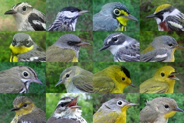 From left to right:  FIRST ROW - SY-F Black-and-white Warbler, ASY-M Blackpoll Warbler, ASY-M Canada Warbler, SY-M Chestnut-sided Warbler  SECOND ROW - ASY-F Magnolia Warbler, ASY-M Mourning Warbler, ASY-F Myrtle Warbler, ASY-F Northern Parula  THIRD ROW - AHY-U Ovenbird, SY-M Tennessee Warbler, ASY-M Wilson's Warbler, ASY-F Yellow Warbler  FOURTH ROW - ASY-F Cape May Warbler, AHY-U Northern Waterthrush, ASY-M Nashville Warbler, and ASY-F Common Yellowthroat. (Photos by Marie-Anne Hudson)