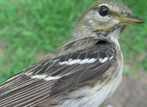 This second-year female Blackpoll Warbler was in good company as 33 of her traveling companions were banded and released this week.  Blackpolls of all ages and sexes meant several quick photo sessions for our ever-growing online photo library. (Photo by Marie-Anne Hudson)