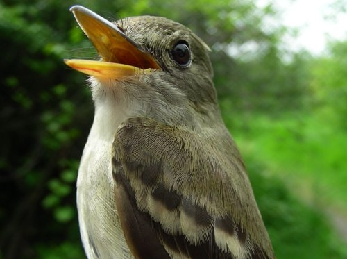 Our last bird banded for SMMP 2008: we wish this Traill's Flycatcher (likely an Alder Flycatcher because they've been seen singing their heads off over the past few days, and not a Willow is to be found) ... happy trails as it heads towards its breeding grounds!  (Photo by Marie-Anne Hudson)