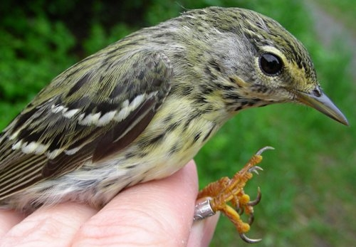 Just like male and female Black-throated Blue Warblers, male and female Blackpoll Warblers almost look like different species. (Photo by Marie-Anne Hudson)