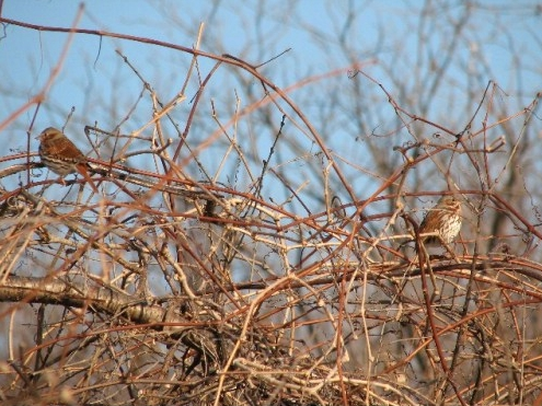 Fox Sparrows are among the songbirds beginning to trickle back to MBO this week.. (Photo by Barbara Frei)