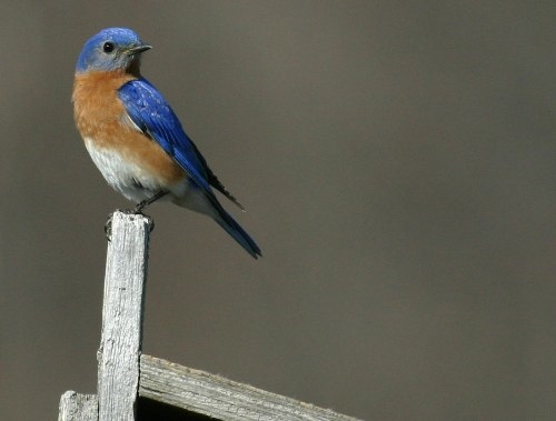 So far so good - the Eastern Bluebird pair is hanging around, showing great interest in our nest boxes and providing some great photo opportunities, including this one of the male standing guard on top of nest box #38 (Photo by André Pelletier)