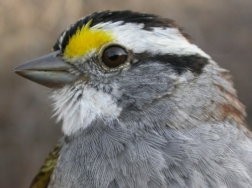 This was the week of the White-throated Sparrow at MBO!  Honourable mention goes to the woodpecker crew, with one Downy Woodpecker and two Yellow-bellied Sapsuckers banded (Photo by Marcel Gahbauer)