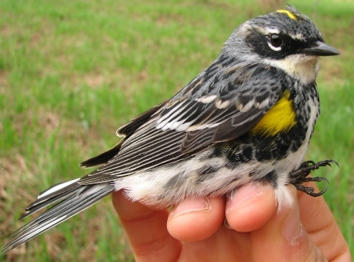 T his young male Yellow-rumped Warbler is sure to be followed by many more over the coming weeks. (Photo by Barbara Frei)