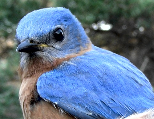 Ask and ye shall receive:  they've been hanging around for a week and we've been saying how nice it would be for one of them to hit the net ... this after-second-year male obliged, taking his place as the third Eastern Bluebird banded at MBO. (Photo by Marie-Anne Hudson)