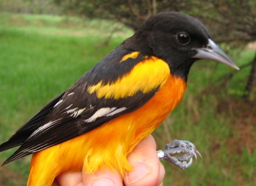 A sure sign that summer's coming: the vibrant oranges of returning Baltimore Orioles. (Photo by Barbara Frei)