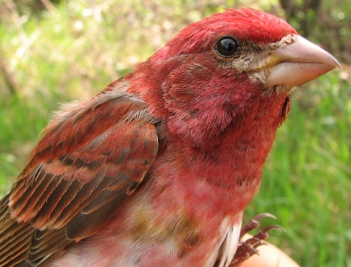 This after-second-year male Purple Finch had a well-developed cloacal protuberance, suggesting that it might be not far from its breeding grounds. (Photo by Barbara Frei)