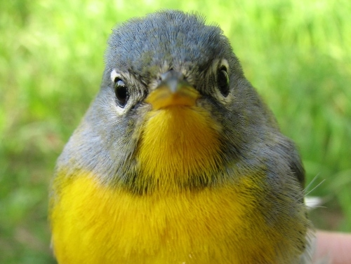 One of our smaller warblers, the Northern Parula is also among the least common warblers at MBO, ranking 20th among the 24 species we have banded to date. This after-second-year female is only the third Northern Parula we've banded during spring migration.  (Photo by Barbara Frei)