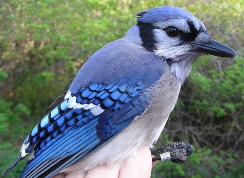 Though they're common at MBO, it's always a special treat to get a Blue Jay in the net, as they're very well behaved and wonderful to look at.  (Photo by Marie-Anne Hudson)