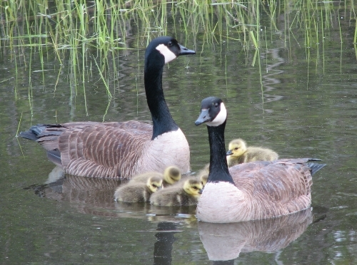 Our first babies of the year!  Though the Canada Goose (dubbed Priscilla) that decided to nest on the top of the duck blind in the middle of the back pond is still sitting there waiting for her brood to hatch, this family apparently got an earlier start.  (Photo by Barbara Frei)