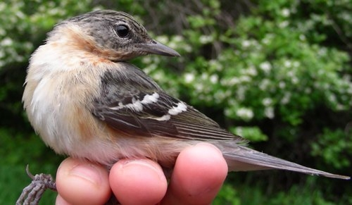 This second-year female Bay-breasted Warbler is the first one we've ever banded in spring, and only one of 10 ever banded at MBO! (Photo by Marie-Anne Hudson)