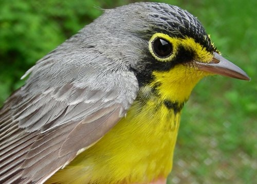 We counted about eight Canada Warblers this week, including the three we banded.  This species has recently been designated as being threatened in Quebec, so we're keeping a special eye out for them  (Photo by Marie-Anne Hudson)