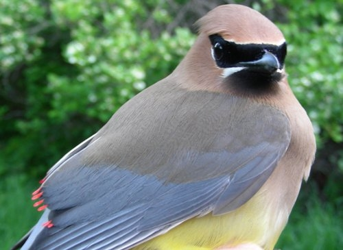 This after-second-year male Cedar Waxwing felt as soft as he looked   (Photo by Marie-Anne Hudson)