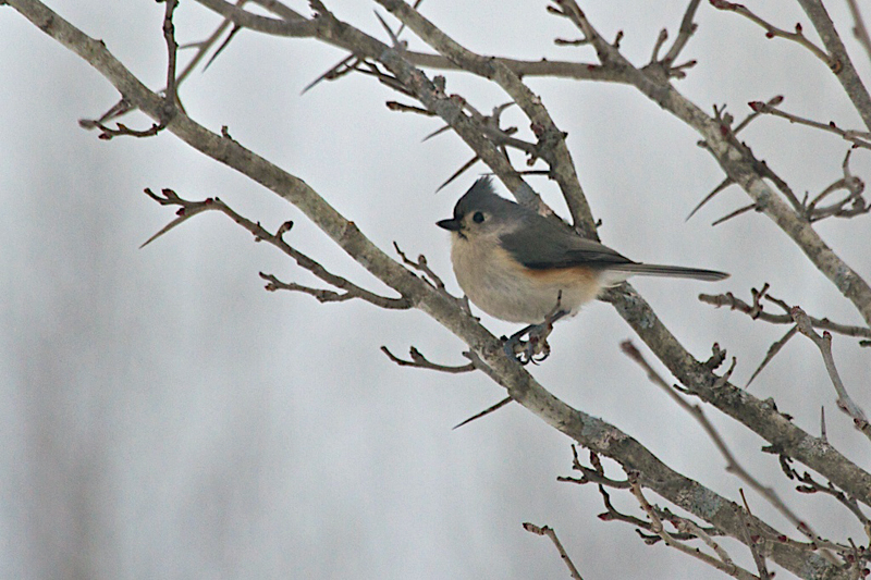 Tufted Titmouse     (photo: RG)