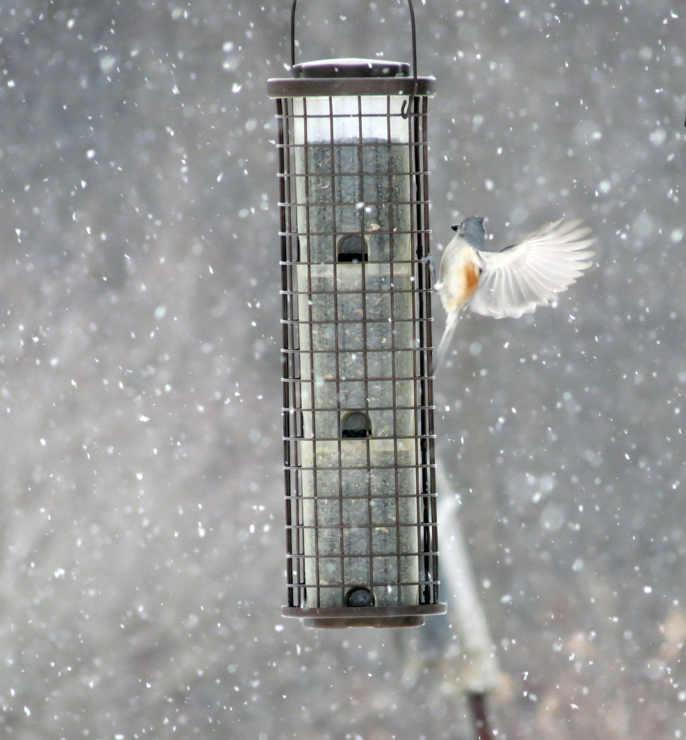 Tufted Titmouse Feb 1 2014