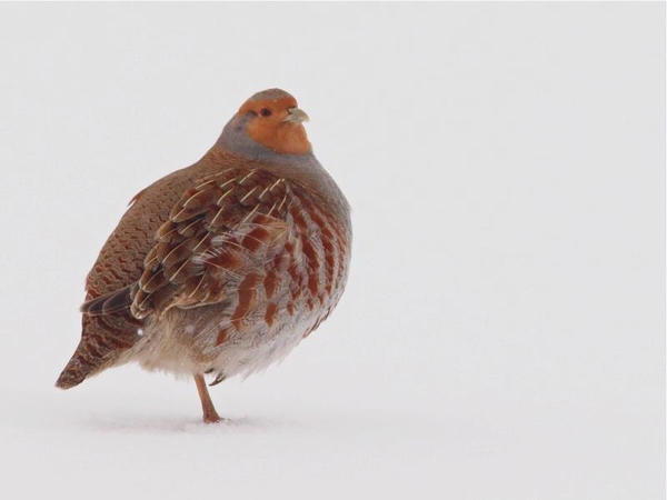 Une des Perdrix grise qui visite notre site. / One of the Gray Partridge visiting our site.