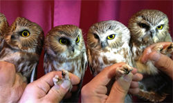 Group of four Saw-whet Owls.
