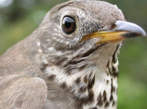 McGill Bird Observatory's first Grey-cheeked Thrush, caught on Monday and providing a nice contrast with the Bicknell's Thrush banded the previous Friday
