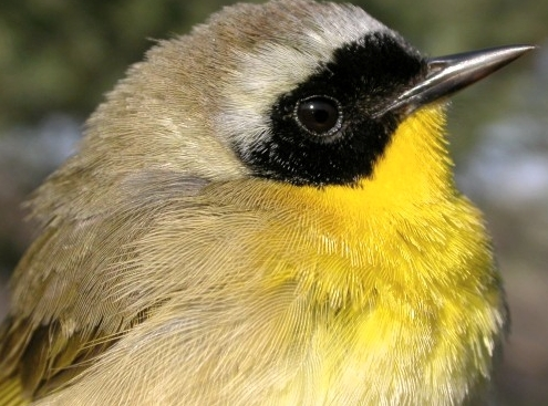 This after-second-year Common Yellowthroat is among the very few warblers that have appeared at MBO to date this spring.