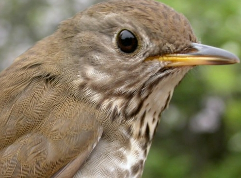 McGill Bird Observatory doesn't band all that many thrushes, so it's always a nice surprise to find one in the nets.  They aren't always easy to identify though - take a guess at what species this is before scrolling down to read about it in the weekly notes.