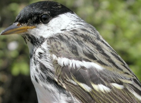 The final bird banded of the 2005 Spring MIgration Monitoring Program, a second-year male Blackpoll Warbler.