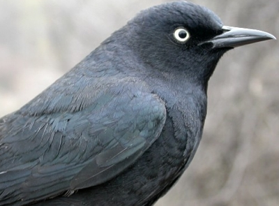 An exciting catch at the end of week 4 was this Rusty Blackbird, the first banded at MBO.  As a rapidly declining boreal species, the Rusty Blackbird is among our top priorities for monitoring, and after seeing several flocks narrowly miss the nets last fall, we were very happy to catch and band this male.