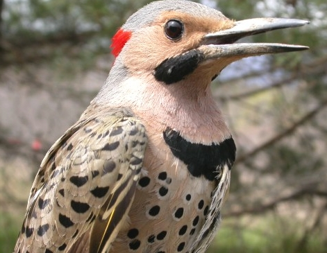 Though common at MBO, we had not banded a Yellow-shafted Flicker until this third-year male landed in net A1 this Wednesday.