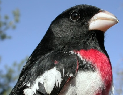The Rose-breasted Grosbeaks returned early this week, and within a couple of days we had banded our first three males.  This after-second-year male was unusually gentle, only once briefly nipping the bander; the second-year male banded later the same day applied a much firmer grip with its beak!