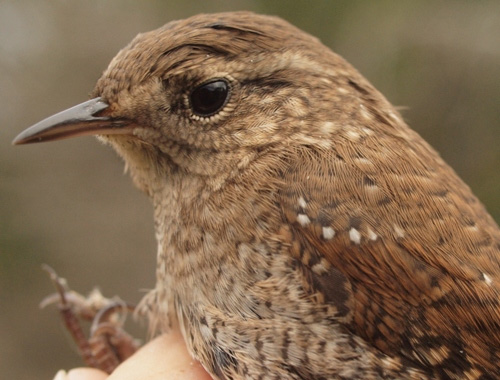MBO's first Winter Wren banded this season.  (Photo by Simon Duval)