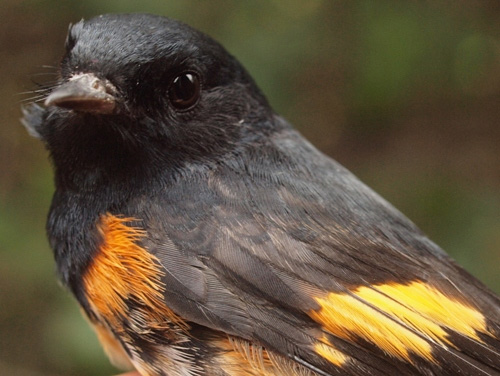 We almost always have an American Redstart or two still passing through MBO in October; this year it was a striking after-hatch-year male.  (Photo by Simon Duval)