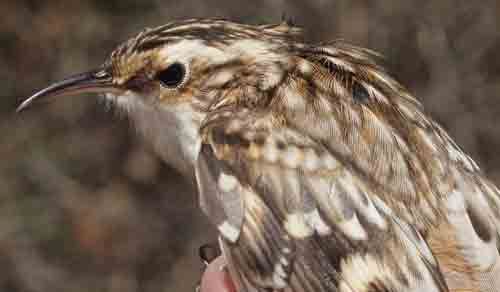 Brown Creeper, another one of our reliable October birds at MBO. (Photo by Simon Duval)