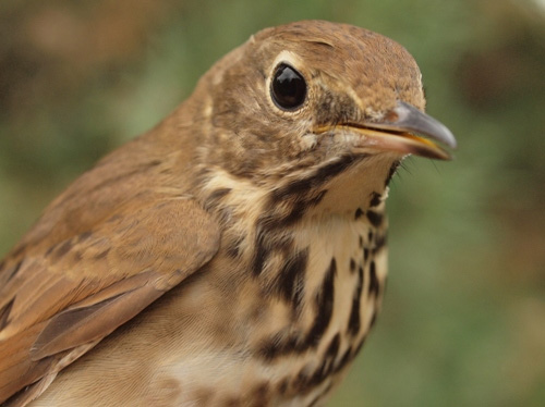 Continuing with brown October birds, one of this week's several Hermit Thrushes. (Photo by Simon Duval)